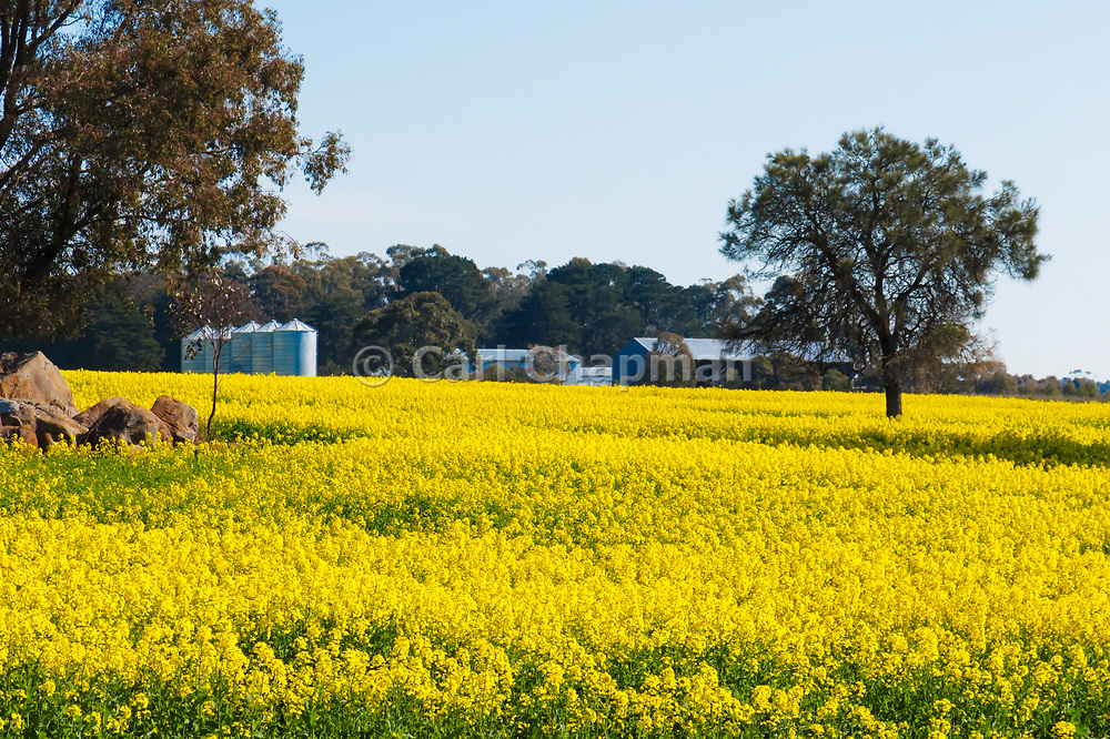 Farm buildings  and trees in field of flowering canola crop in rural country Victoria, Australia.