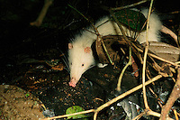 A moonrat, Echinosorex gymnura, forages for food among leaf litter.