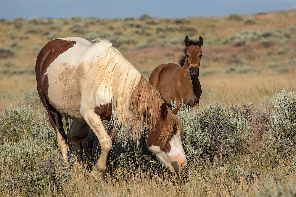 As spring turns to summer, newborn foals begin to appear in the landscape of McCullough Peaks.  These foals will stay with their mother until adulthood when they leave to join another band or form a band of their own. Pictured here, are the mare, Tuff, and her little filly, Tiki.