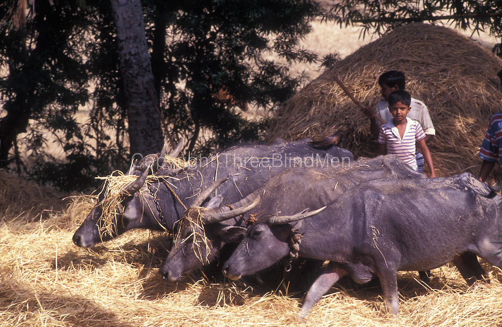 Buffalos threshing paddy after the rice harvest. Near Ehetuwewa.