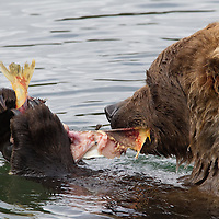 Close-up view of a brown bear feeding on salmon, Katmai National Park, Alaska