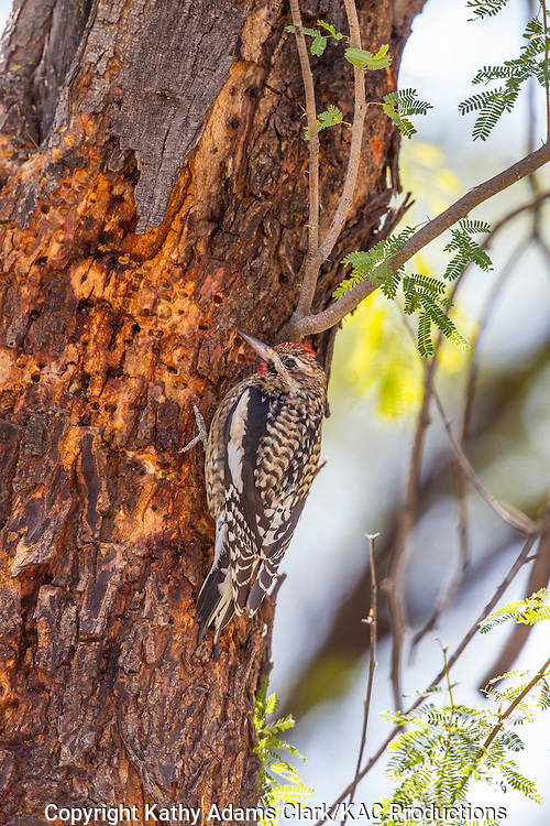 Yellow-bellied sapsucker, Sphyrapicus varius, winter, Big Bend National Park, Chihuahuan Desert, west Texas