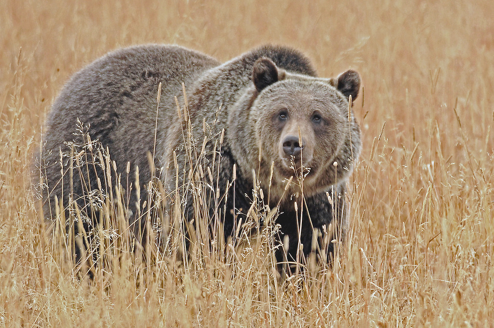 2010 was a poor food year for grizzlies with numerous food sources including winter-killed ungulates, spring forage, berries, and whitebark pine nuts available at levels much lower than average. During years of low whitebark pine nut production, grizzlies may seek out alternative food sources at lower elevations which could lead to more frequent human-grizzly encounters.