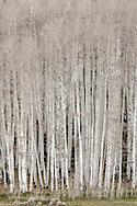 Aspen Trees, (Populus tremuloides)