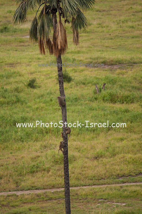 Olive baboon (Papio anubis) climb a palm tree. Photographed in Kenya