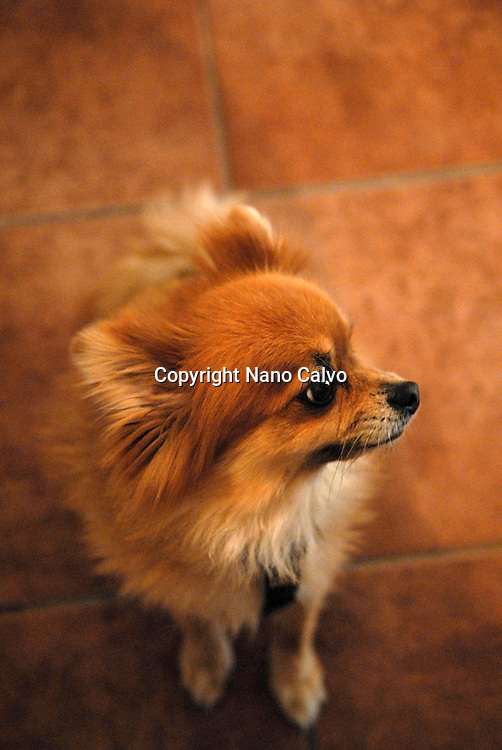 Vertical profile portrait of Pomeranian dog