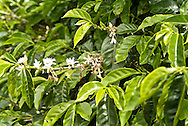 Detail of the coffee flowercaffeine, Coffea canephora, cultivated, flavor, chaoua, kahve, robusta, Rubiaceae, Coffea arabica, coffee cultivation, process, flavor, aroma, Commodity, fresh produce, Coffee futures contracts, industry, economy,