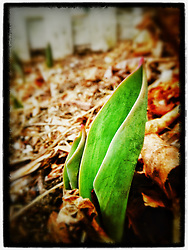 """A tulip pokes through leaves in Portsmouth, New Hampshire. iPhone photo - suitable for print reproduction up to 8"""" x 12""""."""