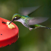 """A female White-necked Jacobin (Florisuga mellivora; or Great Jacobin; or Collared Hummingbird) feeds at the lower elevations (about 1400 meters) of Bellavista Cloud Forest Reserve, in the """"Mindo Area of International Importance for Birds,"""" Tandayapa Valley, near Quito, Ecuador, South America. This large and attractive hummingbird ranges from Mexico south to Peru, Bolivia and south Brazil. The approximately 12 cm long male White-necked Jacobin is unmistakable with its white belly and tail, a white band on the nape and a dark blue hood. Immature males have less white in the tail and a conspicuous rufous patch in the malar region. Females are highly variable, and may resemble adult or immature males, have green upperparts, white belly, white-scaled green or blue throat, and white-scaled dark blue crissum, or have intermediate plumages, though retain the white-scaled dark blue crissum. Females are potentially confusing, but the pattern on the crissum is distinctive and not shared by superficially similar species. These birds usually visit flowers of tall trees and epiphytes for nectar, and also hawk for insects."""