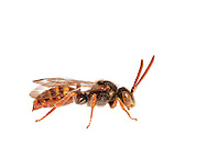 Cuckoo Bee (Nomada sp, Ruficornis group), male, South Carolina, USA