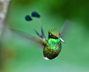 """The Booted Racket-tail (or Racquet-tail; or Racquet-tailed Hummingbird; Latin name Ocreatus underwoodii) in Bellavista Cloud Forest Reserve, in the """"Mindo Area of International Importance for Birds,"""" Tandayapa Valley, near Quito, Ecuador, South America. Published in """"Light Travel: Photography on the Go"""" book by Tom Dempsey 2009, 2010."""