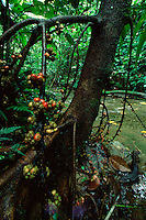 Endemic fig tree (Ficus minahasa) along a stream.  .Sierra Madre National Park, Luzon, Philippines.  Sep 01.