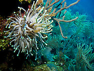 A giant anenome waves in the current on the reef surrounding Roatan, Honduras.