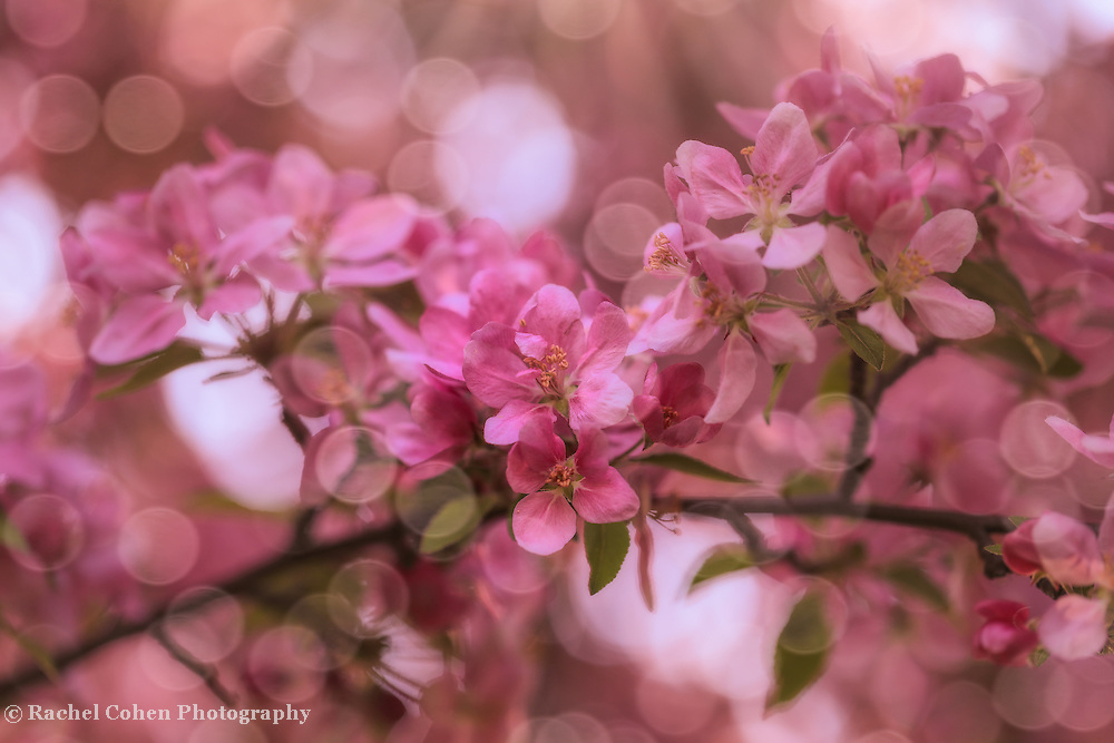 &quot;Dance of the Fairies 2&quot;<br /> <br /> Delightful and enchanting pink blossoms with spheres of sunlight dancing magically around!