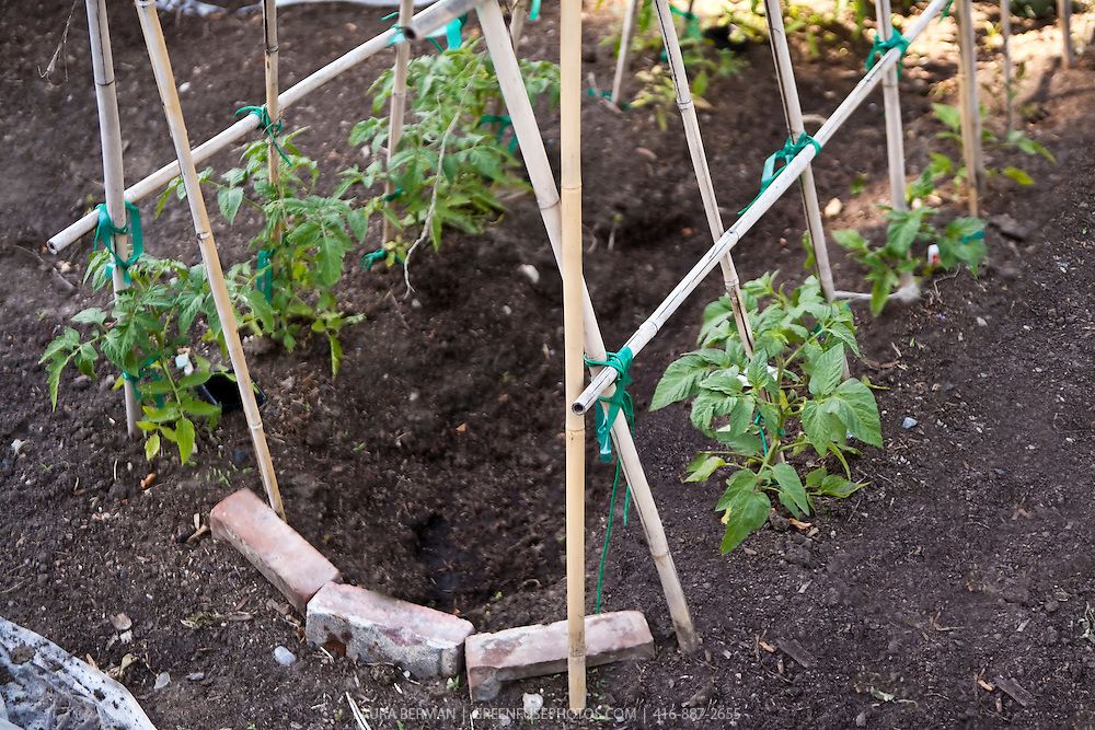 bamboo stakes made in an a frame trellis support for growing tomatoes
