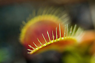 Venus' fly traps are famously known for their ability to catch small invertebrates in a special set of jaw-like, modified leaves. Like most carnivorous plants, the animal contributions to their diet is necessary to suppliment the lack of nutrients found in their acidic native habitats.  Venus' fly traps are endemic to specialized coastal habitats in North and South Carolina.  When they were first discovered, some speculated that they arrived on earth from outerspace because of their bizarre appearance and behavior. These amazing plants have grown increasingly scare in recent years due to poaching and habitat loss.
