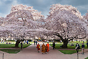 "Orange robed monks admire cherry trees flowering in early April in Seattle, Washington, USA. The Yoshino cherry trees on ""the Quad"" (Liberal Arts Quadrangle) of the University of Washington were a senior gift from the class of 1959. The trees were rescued from a construction site for the Evergreen Point Floating Bridge and moved to campus in 1964."