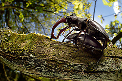 Sequence (6/6) - Rivals Stag beetle (Lucanus cervus) two males displaying aggressive behaviour on oak tree branch. Biosphere Reserve 'Niedersächsische Elbtalaue' (Lower Saxonian Elbe Valley), Germany | Serie (6/6) - Ist das Hirschkäfer-Männchen (Lucanus cervus) endlich ohne Rivalen auf dem Ast, umwirbt es das Weibchen und es kommt zur Paarung. Elbtalauen, Deutschland | Hirschkäfer, Männchen und Weibchen, Paar, Pärchen, Paarung, Kopulation, Kopula, Hornschröter, Hirsch-Käfer, Lucanus cervus, Stag beetle, male and female, copulation, pairing, Schröter, Lucanidae, Stag beetles