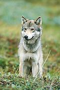 Alaska. Denali NP. Wolf. Canis lupis.