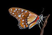 Butterfly<br /> Odzala - Kokoua National Park<br /> Republic of Congo (Congo - Brazzaville)<br /> AFRICA