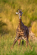 Giraffe (Giraffa camelopardalis) standing with legs spread with Ox Peckers feeding, Tarangire National Park, Tanzania, Africa