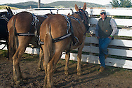 Teamster with team of mules (Mulus mula) in harness