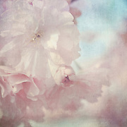 Close-up of Japanese Cherry blossoms. Textured photo.