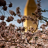 The Washington Monument framed by cherry blossoms.