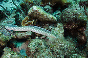 Sharptail Eel (Mynchthys breviceps)<br /> BONAIRE, Netherlands Antilles, Caribbean<br /> HABITAT &amp; DISTRIBUTION: Shallow grass beds to rocky rubble to reefs.<br /> Florida, Bahamas, Caribbean, Gulf of Mexico &amp; Bermuda.