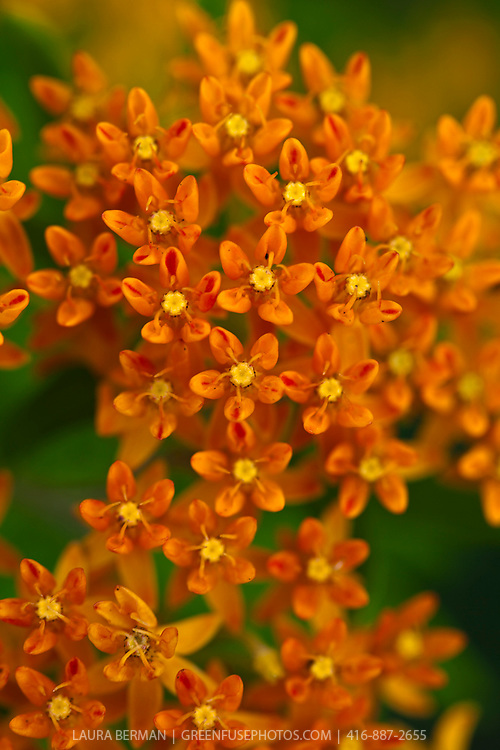 Asclepias tuberosa - Butterfly milkweed.