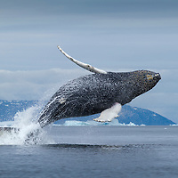 Greenland, Ilulissat, Humpback Whale (Megaptera novaeangliae) calf breaching in Disko Bay near icebergs from Jakobshavn Isfjord on summer afternoon