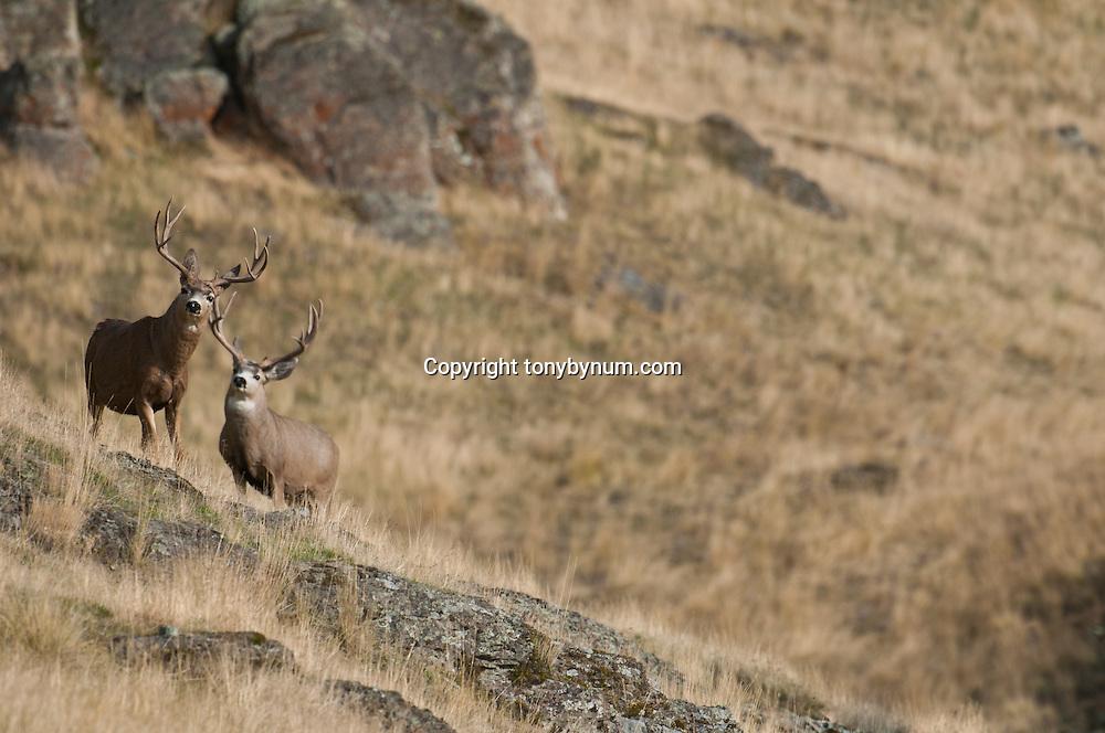 two trophy mule deer bucks standing altert on rocks in grass lands