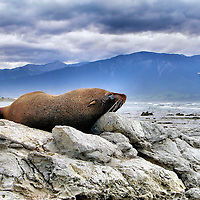 Fur Seal Napping on Kaikoura Peninsula in Kaikaoura, New Zealand<br />