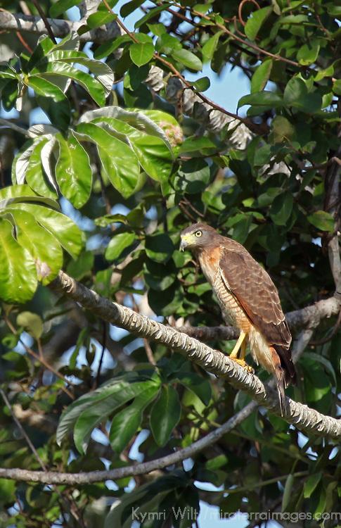 South America, Brazil, Pantanal. The Roadside Hawk in the Pantanal.