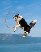 A border collie leaps for the hula hoop at Camp Winnaribbun, a dog camp, at Lake Tahoe.