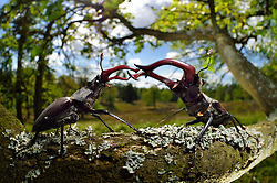 Sequence 2/6) - Rivals Stag beetle (Lucanus cervus) two males displaying aggressive behaviour on oak tree branch. Biosphere Reserve 'Niedersächsische Elbtalaue' (Lower Saxonian Elbe Valley), Germany   Serie (2/6) - Hirschkäfer-Männchen (Lucanus cervus) dulden sich nicht auf dem gleichen Eichenast und so kommt es immer wieder zu kleinen Kämpfen, bis ein Kafer vom Ast fällt oder flieht. Elbtalauen, Deutschland