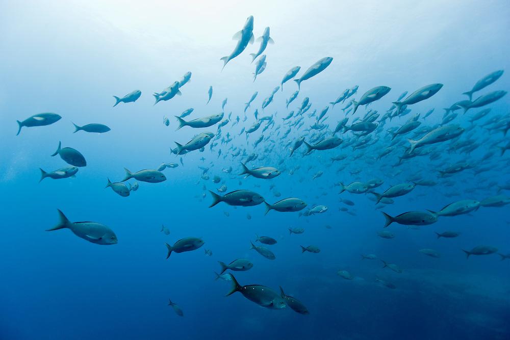 Ecuador, Galapagos Islands, Darwin Island, Underwater view of schooling Pacific Creolefish (Paranthias colonus) swimming near surface