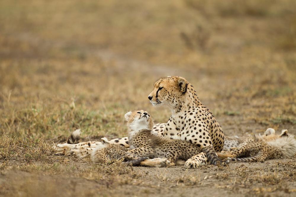 Tanzania, Ngorongoro Conservation Area, Ndutu Plains, Cheetah Cub (Acinonyx jubatas) looking up lovingly at mother while resting on savana