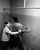 1969 - Elephant at the Gaiety Theatre.