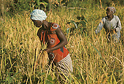 Africa, Liberia, Kpelle Tribe: women harvesting rice.
