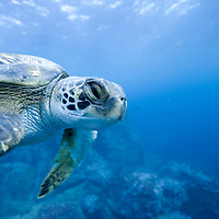 Ecuador, Galapagos Islands, Darwin Island, Underwater view of  Pacific Sea Turtle (Chelonia mydas) at cleaning station