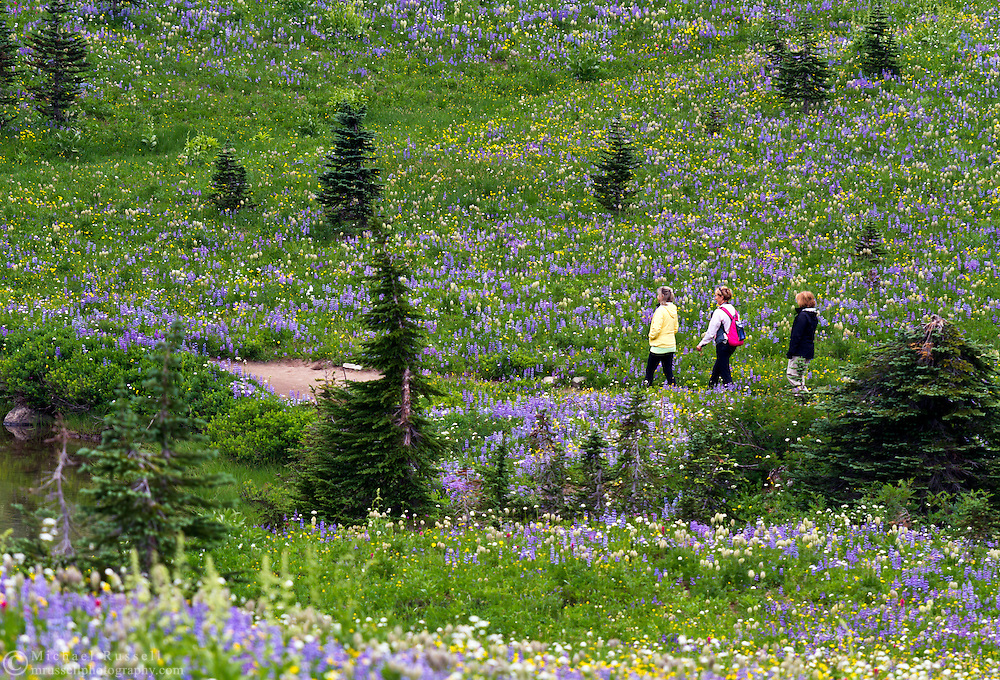 3 adult hikers navigate the trails around Tipsoo Lake's wildflower display in Mount Rainier National Park, Washington State, USA.