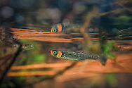 Russetfin Topminnow<br />