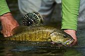 Smallmouth Bass Stock Photos