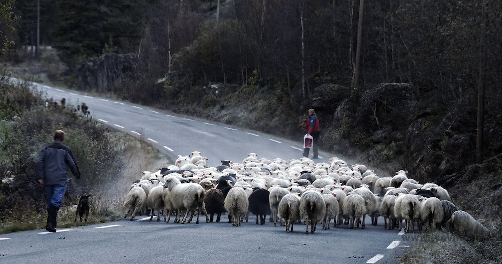 Traffic jam sheeps - Riksvei 55
