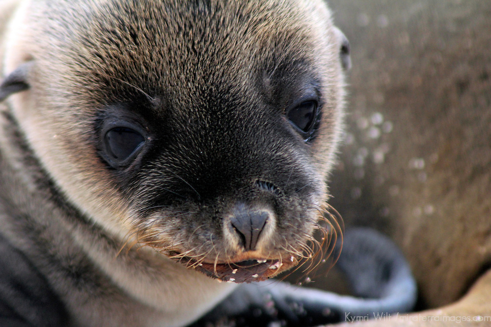South America, Ecuador, Galapagos, North Seymour Island. Galapagos Sea Lion Pup.