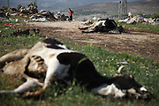 Cows shot by Assad loyalists lying on a street outside Bashirija. The village of Bashirija was beeing attacked by syrian Army in early April, leaving serveral people dead. Many houses were set on fire and livestock were shot dead by Assad loyal forces raging for two days. Later nighbours buried bodies of inhabitants hasty in a mass grave.