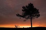 Scots pine (Pinus sylvestris silhouetted at sunrise, Scotland.
