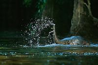 A young Borneo Pygmy Elephant (Elephas maximus borneensis) swims across a river..Kinabatangan Wildlife Sanctuary, Borneo Island.