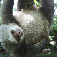 Central America, Latin America, Costa Rica, Golfo Dulce, Cana Blanca Wildlife Sanctuary. Hoffman's Two-Toed Sloth (Chloepus Hoffmani)